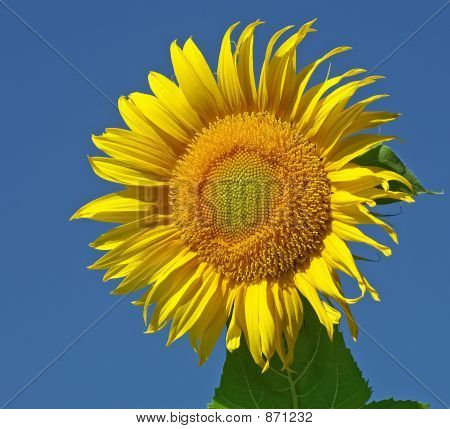 Fresh Sunflower