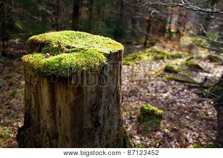 Tree Trunk With Moss In A Forest.
