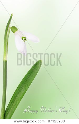 Mother's Day Flowers, A Card With Snowdrops. Copy Space.