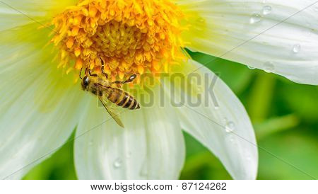 honey bee sucking nectar from the flower