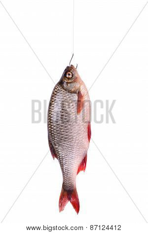 Fresh Raw Fish On A Hook, Isolated On White