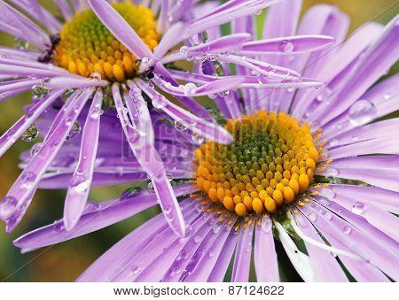 violet daisies in garden
