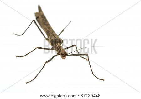 Big Brown Grasshopper On White Background