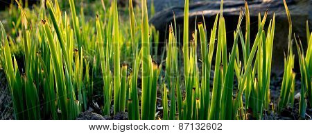 Green Grass In Spring Sunlight