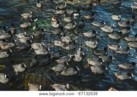 Flock Of Coots In The Sea