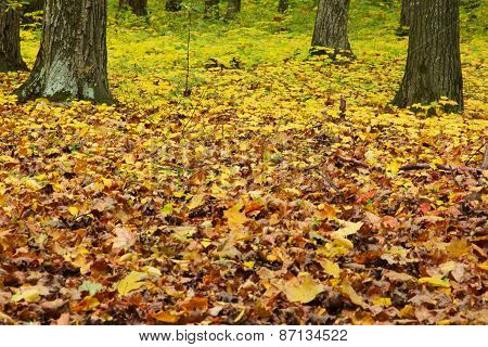 Autumn Green-yellow Forest
