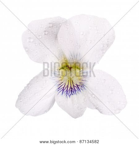 White pansy with dew drops