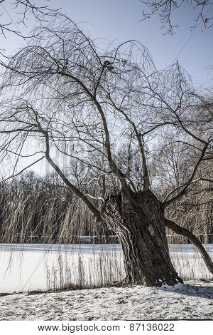 Weeping willow tree by the lake