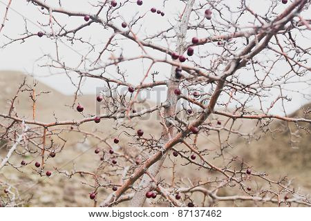 Hawthorn Bush With Berries Without Leaves