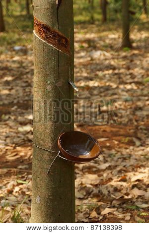 Cups Collect Sap From Rubber Trees