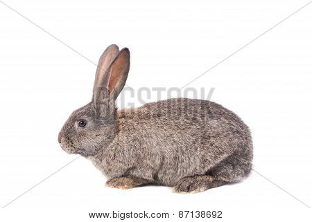 Gray Rabbit On A White Background.