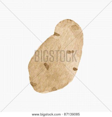 Hand-drawn potato. Real watercolor drawing. Vector illustration.