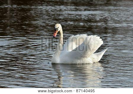 Beautiful White Mute Swan (cygnus Olor)