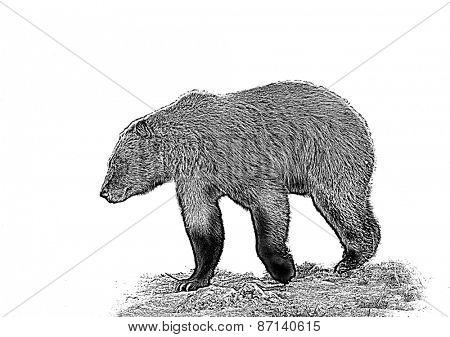 Line art/pen and ink illustration style image of  Grizzly bear walking past the viewer