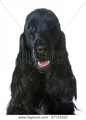 english cocker spaniel portrait on white background