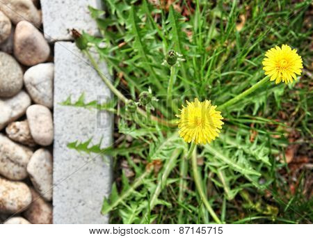 a dandelion along a landscaped walkway of stone pavers and grave