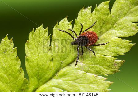 The castor bean tick (Ixodes ricinus)
