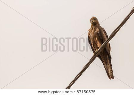 Black Kite Aka Amora