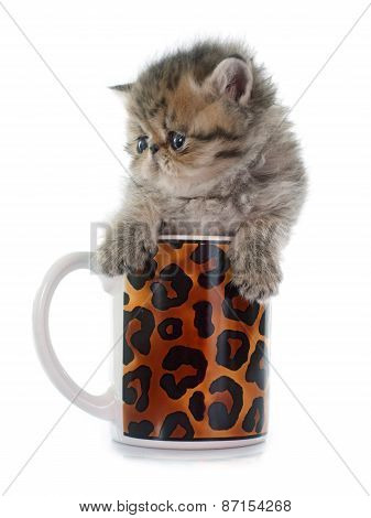 Kitten Exotic Shorthair In Teacup