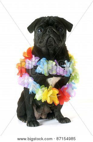 Black Pug And Flower Collar