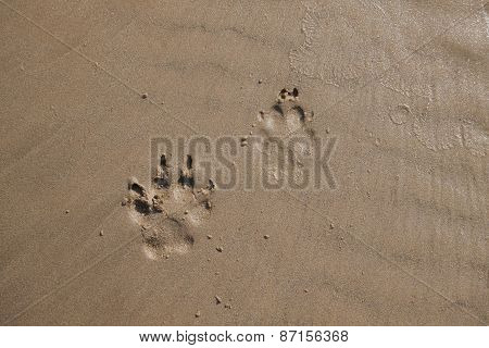 Dog footprints in sand.
