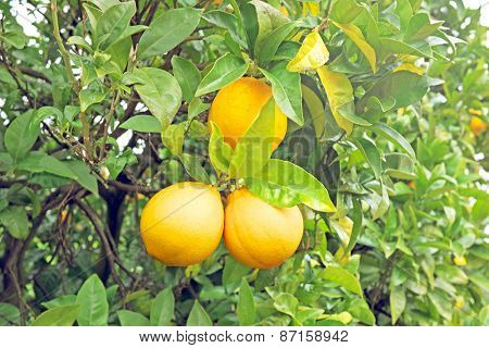 Ripe oranges on an orange tree