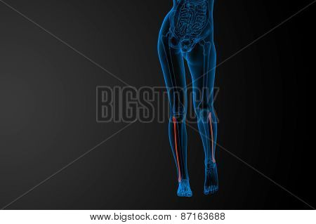 3D Rendered Illustration Of The Fibula Bone