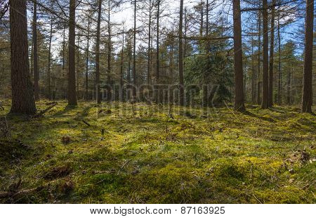 Moss in sunlight in a pine forest
