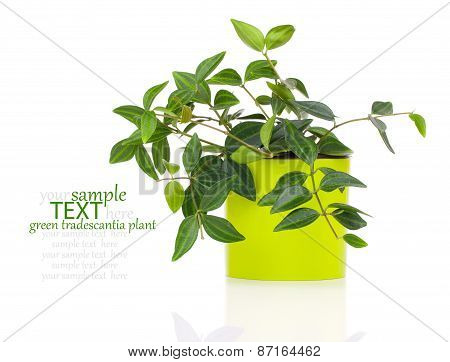 Green Tradescantia Plant In Pot, Isolated On White Background