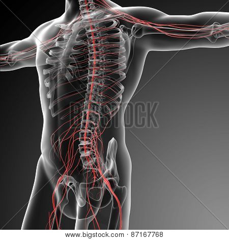 3D Rendered Illustration Of The Male Nervous System