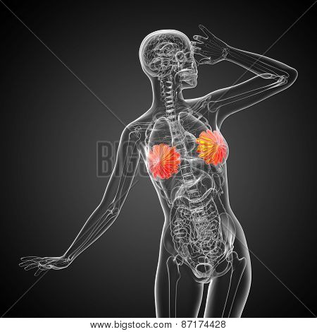 3D Render Medical Illustration Of The Human Breast