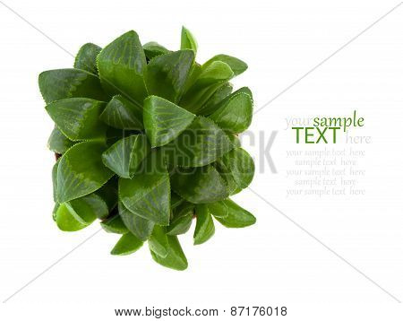 Adromischus Alveolatus Plant Isolated On White Background.