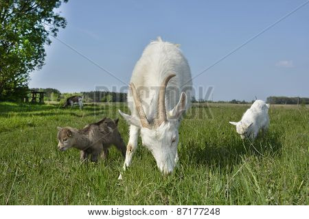 The Family Of Goats Grazing In The Meadow.
