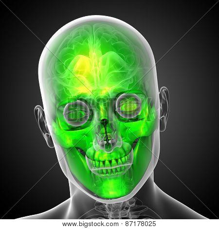 3D Render Medical Illustration Of The Skull