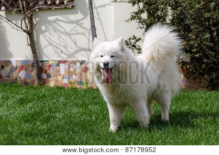 Samoyed dog in the garden