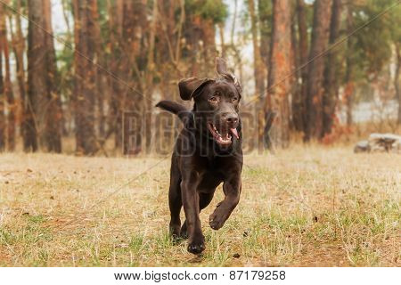 chocolate labrador running in the woods