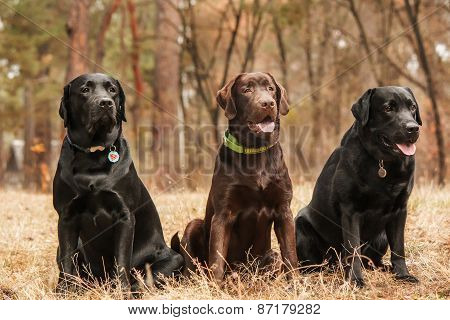 Three Labrador sitting in a forest