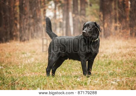 black labrador standing in a forest
