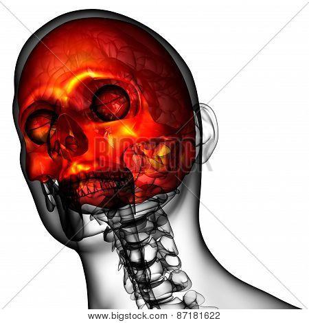 3D Render Medical Illustration Of The Upper Skull