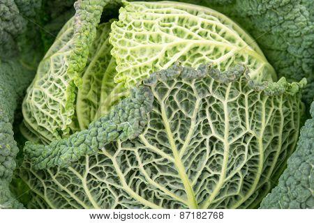 Fresh Savoy Cabbage Close Up