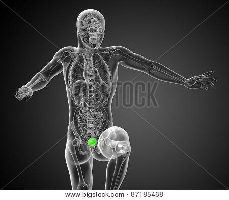 3D Render Medical Illustration Of The Human Bladder
