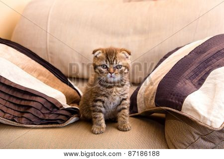 Scottish Kitten Sitting On A Chair Between Two Pillows