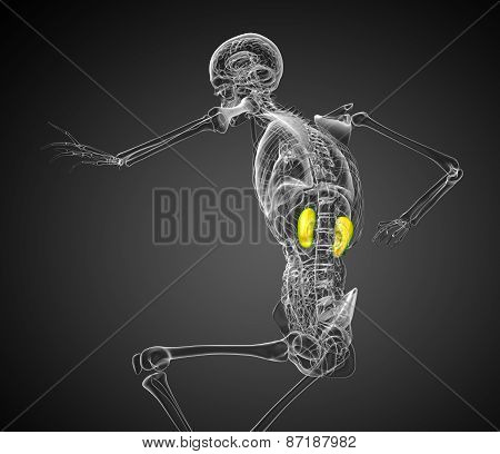 3D Rendered Illustration Of The  Kidneys