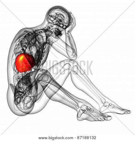 3D Render Medical Illustration Of The Liver