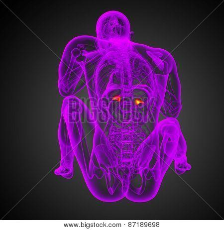 3D Render Illustration Of The Human Adrenal