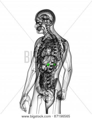 3D Medical Illustration Of The Adrenal