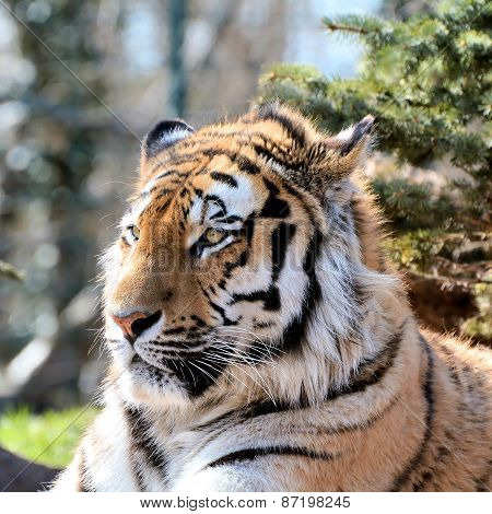 relaxed Siberian Tiger