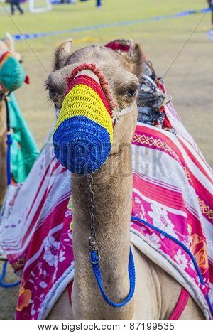 saddled camel in the colored muzzle