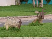 picture of stone sculpture  - Sculptures of goats made of  stones and a mask of corten steel in the Streets of Puerte del Rosario on Fuerteventura - JPG