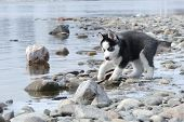 picture of siberian husky  - the Siberian puppy on the river bank watches huskies at water - JPG
